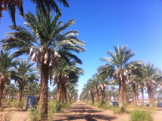 Stunning Medjool Date Palm Fields